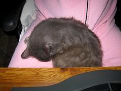 Blueboy enjoying my footy pajamas (Hairlover) Tags: pet cats pets public cat kitten kitty kittens kitties hairlover 26yearoldcat
