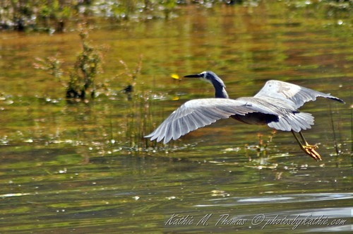White faced heron coming in for a landing