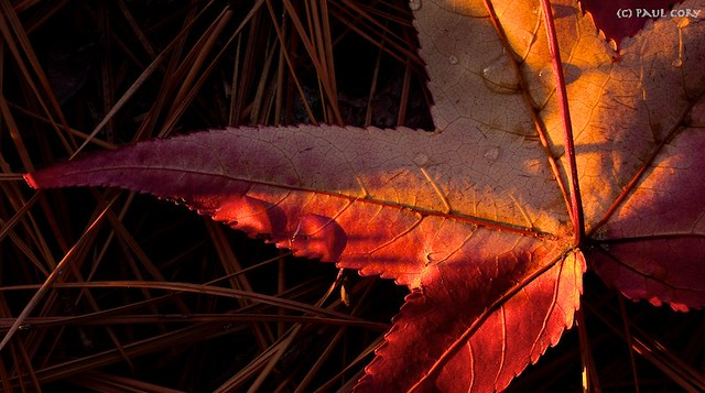 Sunset Sweetgum Leaf