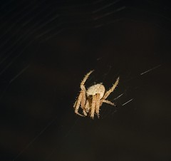 Ready to eat (nivek2002) Tags: macro spider scary little web arachnid awesome insest