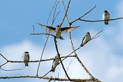 Tree Swallows (Tachycineta bicolor) DSC_0162 (NDomer73) Tags: bird flight july 2006 swallow ridgefield treeswallow ridgefieldnationalwildliferefuge 09july2006 ridgefieldnwr