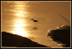 Black-winged Stilt (Caroline Castendijk) Tags: sunset reflection bird nature water photography golden twilight caroline cc event curacao botswana allrightsreserved okavango sundowner himantopushimantopus blackwingedstilt okavangodelta wetreflection flickrdiamond carolinecastendijk castendijk 2008carolinecastendijk fotografiecuracao curaaofotografie curacaofotografie carolinecastendijkphotography photographycuraao carolinecastendijkfotografie carolinecastendijkphotographer