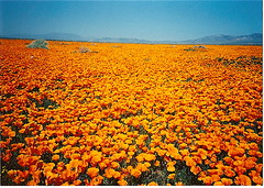 California Poppy Field (Kaos2) Tags: californiapoppies lancastercalifornia anawesomeshot