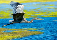 Bird! (Danny Perez Photography) Tags: california bird love beach heron santabarbara d200 70200mm naturesfinest 70200mmf28gvr dannyperez da100fotos ishflickr dannyperezphotography
