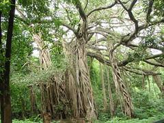 majestic banyan tree (SerenaVM) Tags: india banyantree