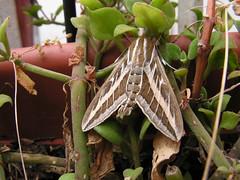 Hyles livornica (esta_ahi) Tags: barcelona españa butterfly spain abril april sphingidae macroglossinae nocturna mariposa lepidóptero hyles испания vilafrancadelpenedès hyleslivornica livornica macroglossini sphingidaemundi choerocampina