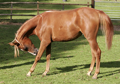 Yearling Arabian Horse (pg tips2) Tags: england horses horse baby interesting domestic arab chestnut arabian arabianhorse youngster digger equine arabs cranleigh yearling arabians gelding equines arabianhorses chestnuthorse arabhorse cranleighstud arabhorses chestnutarabhorse chestnutarabianhorse