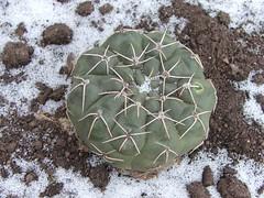 DSCF3194 (Nina Cactus) Tags: cactus argentina suculent suculentas