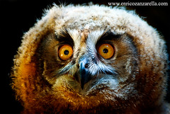 Baby owl eyes (Enrico Zanzarella - Photography) Tags: nature ecology animal animals photography eyes colours wildlife natura occhi fotografia habitat biology colori animali luce grafica biodiversity naturephotography immagine poweroflight babyowl onland naturalpark strangeanimals photoshopimage ethology guforeale wildlifephoto animalseyes animalmind fotografianaturalistica enricozanzarella animalsmind bestanimalsphotography occhiguforeale eyesofbabyowl