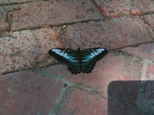 なんの蝶だろう