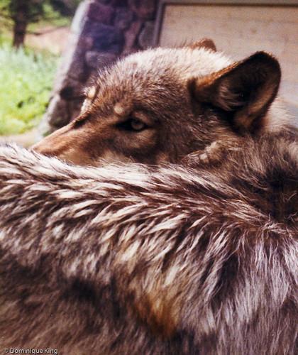 International Wolf Center - Ely, MN-3