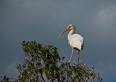 White Ibis. (mp13 nhnc) Tags: northcarolina ibis waterfowl outerbanks avis bodieisland mywinners americanwhiteibis nikond40 100commentgroup mygearandme mygearandmepremium mygearandmebronze mygearandmesilver mygearandmegold mygearandmeplatinum