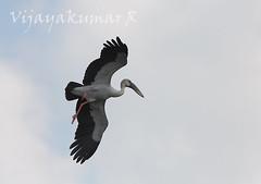 IMG_7800 (Vijayakumar R (www.vijayphotoworks.com)) Tags: birding pelican ibis cormorant birdsanctuary greyheron vedanthangal indianbirds erget canon300mmf4 chennaibirding birdsofchennai chennaiphotographers