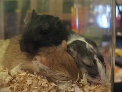 it works.. (miss_verstaendnis) Tags: gerbil mouse rodent sweet mice miss maus renner kuscheln rennmaus vergesellschaftung kakadoo