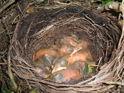 Blackbird, Common Blackbird, Eurasian Blackbird, Turdus merula, Mirlo Común, Amsel, kuroutadori, Kuro-utadori, Merle noir, Melro-preto, 乌鸫, nest,