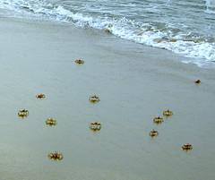 Sand Crabs - by Balaji.B