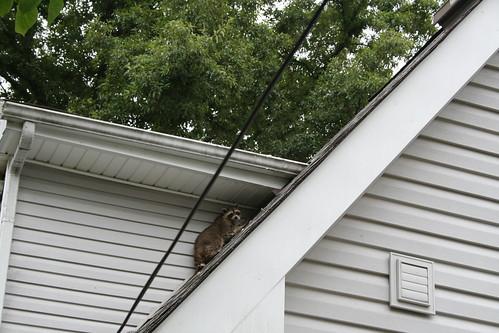 Dad Versus Raccoon Pic 2