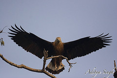 Fishing eagle in flight (dickysingh) Tags: wild india nature outdoor wildlife aditya birdofprey corbett singh dicky tigerreserve fishingeagle ranthambhorebagh naturewatcher lesserfisheagle eagleraptor adityasingh dickysingh ranthamborebagh theperfectphotographer theranthambhorebagh