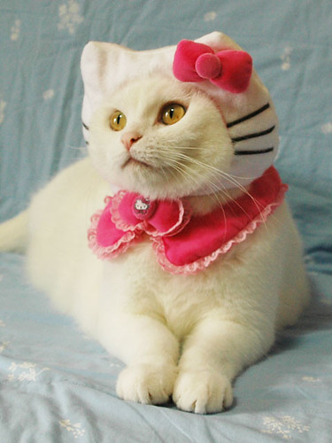 cat in hello kitty costume. Hello Kitty cat costume | Flickr - Photo Sharing!