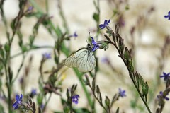 Black-veined White 2 (geoffreadshaw) Tags: white butterflies blackveined