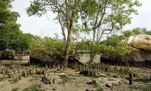 Sonneratia mangrove tree