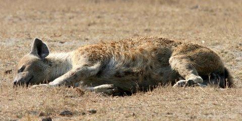 Hyena relaxes