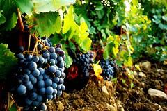 Almost Cannonau (valerius25) Tags: sardegna verde green canon raw sardinia wine salute grapes digitalrebel uva autunno vino campidano villanovaforru buffa cannonau 400d mediocampidano valerius25 valeriocaddeu