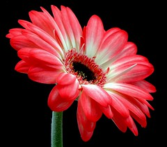 Gorgeous Gerbera (Vanda's Pictures) Tags: pink white macro quality gerbera daisy vanda excellence fantasticflowers supershot 1on1flowers platinumphoto 1on1colorfulphotooftheweek 1on1colorfulphotooftheweekseptember2007