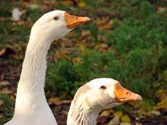 Holland - Ducks (ajaynmurthy) Tags: holland netherlands eindhoven dsch2