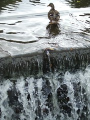 Lymm, Lower Dam (visionthing64) Tags: bird water duck warrington pond village cheshire dam lower lymm baabshots