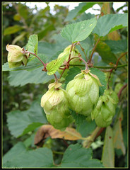 Hop - Humulus lupulus ( Annieta  Off / On) Tags: flowers flower holland color colour macro green nature netherlands fleur fleurs canon garden ilovenature groen colore nederland natuur blumen powershot g2 hop tuin fiori colori couleur bloemen allrightsreserved blum bloem ilovephotography kleur 399 powershotg2 canonpowershotg2 humuluslupulus cannabaceae annieta theworldthroughmyeyes thebiggestgroup kakadoo multicoloredobject masterphotos flowerpicturesnolimits bochoven dontusethisphotowithoutpermission usingthisphotowithoutpermissionisillegal