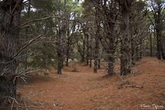 El Bosque Encantado (FlavioSpezia) Tags: naturaleza color tree nature pine forest arbol nikon bosque pino pinar d40 arbolada pineappleleaves follajepia