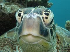 Chelonia mydas (lesantipodistes) Tags: turtle newcaledonia cheloniamydas greenturtle