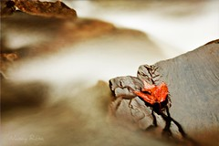 Hanging on (Nancy Rose) Tags: motion water leaf maple rocks stream flowing longexosure hangingon