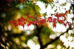 fluttering in the wind (moaan) Tags: life leica november autumn light red sunlight color green digital 50mm glow dof bokeh diary f10 momiji japanesemaple utata glowing noctilux hue tinted 2010 m9 tinged autumnaltints inlife leicanoctilux50mmf10 leicam9 神戸森林植物園 diaryofnovember gettyimagesjapanq1 gettyimagesjapanq2