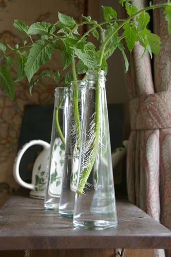 ミニトマトの発根と空き瓶3連続