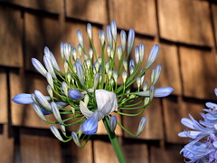 P7042057.JPG (vajra) Tags: flowers blue flower agapanthus