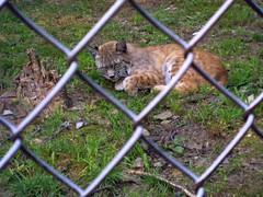 "Bobcat (rcvernors) Tags: sleeping animal cat geotagged zoo feline wildlife wv westvirginia bobcat wildcat frenchcreek county"" rcvernors frenchcreekgamefarm ""upshur westvirginiastatewildlifecenter"