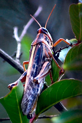 stop bugging me (~Katie) Tags: bug insect grasshopper inatree supershot flickrgolfclub