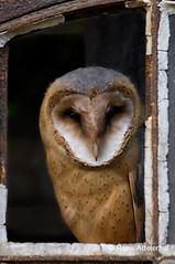 Adelr_20070626_048-Edit (reneadelerhof) Tags: bird owl barnowl tytoalba kerkuil