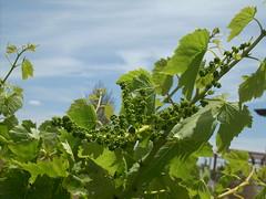 Mount Palomar Winery (Lies Secrets Silence...) Tags: california sky green spring wine winery temecula grape grapevine winecountry temeculavalleywinecountry