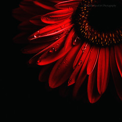 Red (Samantha Nicol Art Photography) Tags: red flower macro art nature water dark square droplets petals gerbera crop samantha nicol