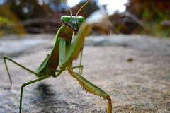 Mantis (clarkmackey) Tags: north arboretum carolina prayingmantis preyingmantis lx3