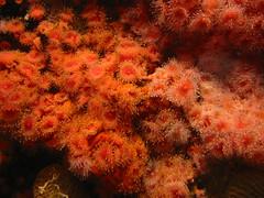 (Eric Hunt.) Tags: ocean red fish green marine jellyfish purple montereybayaquarium seaanemone invertebrates marinelife
