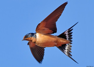 Barn Swallow In Flight (Shooting Techniques)