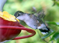 Ruby-throated Hummingbird (blmiers2) Tags: newyork bird nature beautiful birds geotagged blog wings hummingbird bokeh wildlife avian archilochuscolubris trochilidae apodiformes backyardbirds birdphoto rubythroatedhummigbird blm18 blmiers2