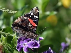 Da' Red Admiral....... (joethefig) Tags: flowers red chicago flower nature butterfly bug insect illinois flora purple gardening wildlife redadmiral urbannature admiral hexapod naturesfinest blueribbonwinner specanimal flowergardening specinsect bugscanbegood