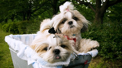 shih tzu world* (o ) (A ) (* tathei *) Tags: park leica city dog pet cute animal japan tokyo shihtzu 169 kotoku dlux3