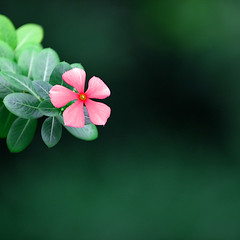 vinca love (DocTony Photography) Tags: pink light summer plant flower green nature leaves canon leaf petals interestingness flora bravo searchthebest zoom blossom bokeh philippines petal explore manila bloom verdant bff 30d vinca magicdonkey supertony 70200f4is henyo superaplus aplusphoto infinestyle doctony
