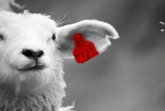 7121 (alternativefocus) Tags: red norway sheep pentax earring lamb 7121 pentaxk10d alternativefocus